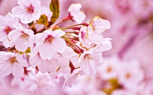 Nature-Sakura-Flower
